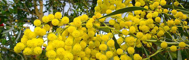 acacia-pycnantha